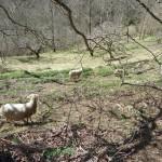 Moutons en hiver